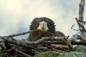 Nestling Steller's Sea Eagle in the nest — Stock Photo