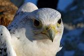 Falcon gyrfalcon — Stock Photo