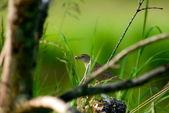 Brown warbler — Stock Photo