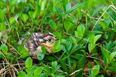 Grouse chick — Stock fotografie