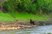 Bear on the river — Stock Photo