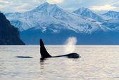 Orcinus orca — Foto de Stock