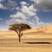Dry naked tree on a sand dune in Sahara desert — Stock Photo