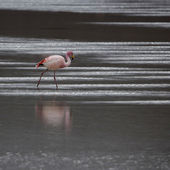 Nature of Bolivia.Lagoons with pink flamingo — Stock Photo