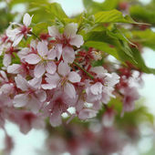 Spring tree flowers blossom — Stock Photo