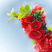 Spring red flowers blossom — Stock Photo
