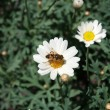 Stock Photo: Pollen Covered Bee on a Daisy