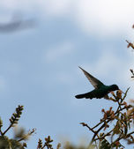 Sparkling Violetear Hummingbird — Stock Photo