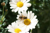 Abeille sur une marguerite — Photo
