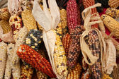 Cobs of Many Colors — Stock Photo
