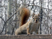 Red Squirrel Watching — Stock Photo