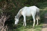 White Horse Drinking — Photo