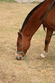 棕色马放牧在一个字段中 — 图库照片