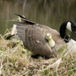 Canada Goose Gosling Getting Comfortable — Stock Photo