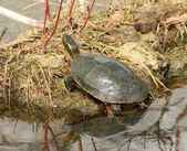 Painted Turtle Reflected in Water — Stock Photo