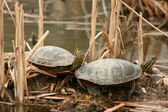 Pair of Painted Turtles — Stock Photo