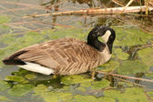 Canada Goose Feeding on Algae — Foto de Stock