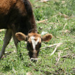 Calf Grazing in a Meadow — Stock Photo