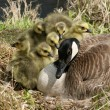 Canada Goose and Six Goslings — Foto Stock