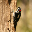 Downy Woodpecker on the Trunk of a Tree — Stock Photo