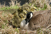 Canada Goose and Six Goslings — Stock Photo