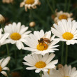 Bee Covered in Pollen on a Daisy — Stock Photo