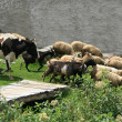 Постер, плакат: Herding Cows Sheep and Goats