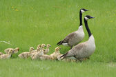 Two Adult Canada Geese with a Gaggle of Goslings — Stock Photo