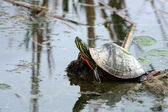 Painted Turtle Reflection — Stock Photo