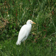 Cattle Egret Near a Bush — Stock Photo