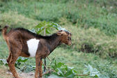 Young Brown and White Goat — Stock Photo