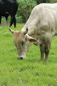 Huvudet av en vit tjur — Stockfoto