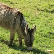 Stock Photo: Long Haired Donkey