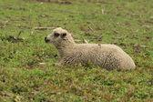 Owce w pozycji leżącej — Zdjęcie stockowe