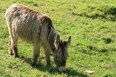 Long Haired Donkey — Stock Photo