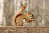 Esquilo-vermelho comendo sementes — Foto Stock