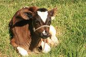 Calf Lying Down — Stock Photo