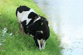 Holstein Cow Beside a Lake — Stock Photo