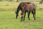 Brown Horses Grazing — Stock Photo