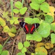 Red and Black Butterfly on a Leaf — Stock Photo