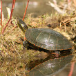 Painted Turtle Sunning Itself — Stock Photo