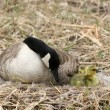 Female Canada Goose Watching Goslings - Stock Photo