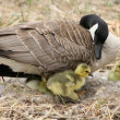 Female Canada Goose with Goslings — Stock Photo