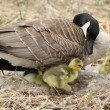 Female Canada Goose with Goslings - Stock Photo