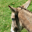 Stock Photo: Donkey Head