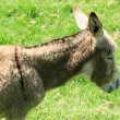 Stock Photo: Donkey in a Pasture