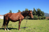 Brown Mare in a Meadow — Stock Photo