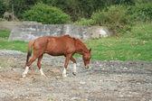 Marrone cavallo a piedi — Foto Stock