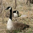 Male Canada Goose Protecting Female and Goslings — Stock Photo