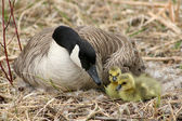 Canada Goose and Two Goslings — Stock Photo
